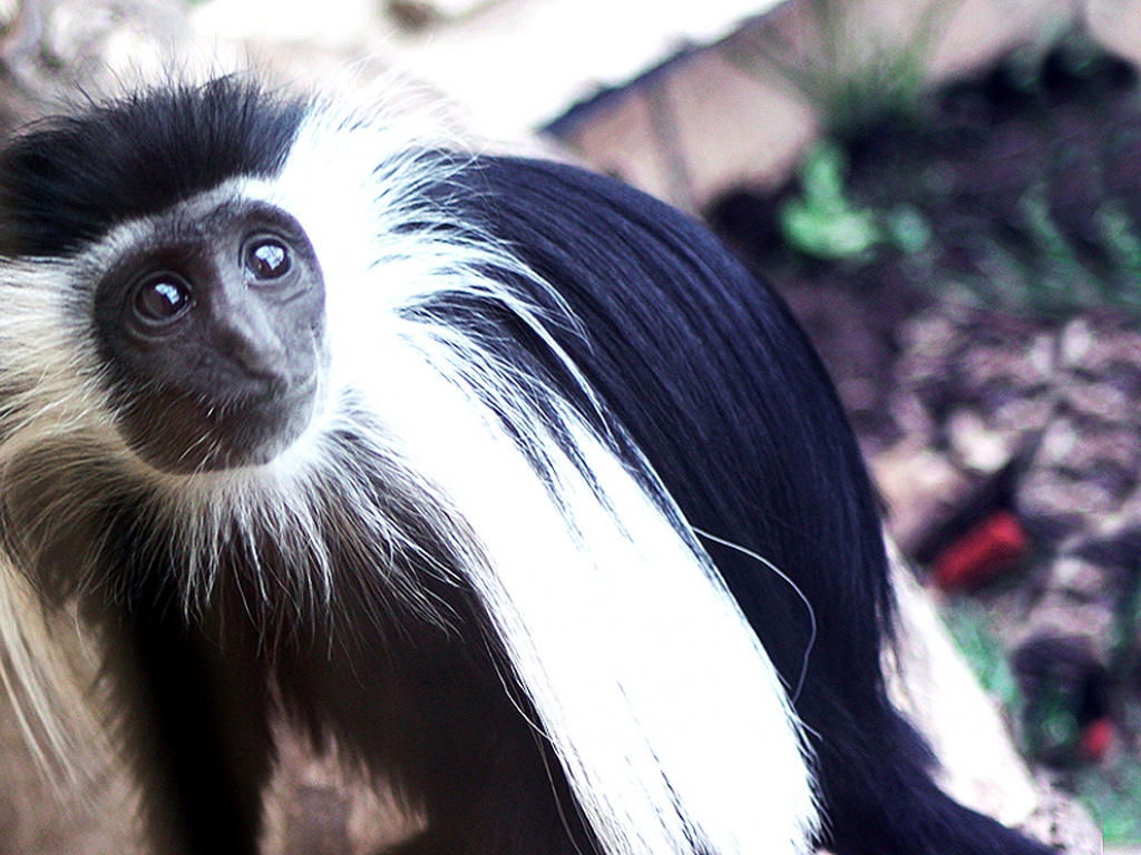 A baby Colobus from Lake Superior Zoo